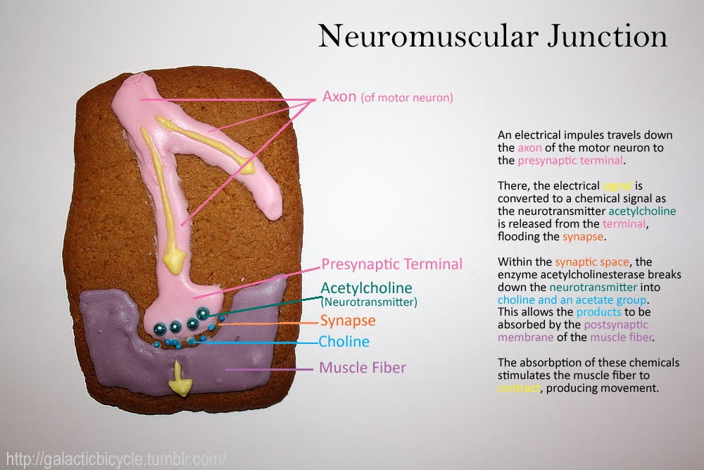 the neuromuscular junction Neuromuscular junction the neuromuscular junction (nmj) is the ultimate relay between the motor cortex, which controls the excitation of skeletal muscle, and the mechanical response of the muscle, which results in physical movement.